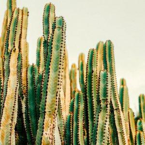 cactus 300x300